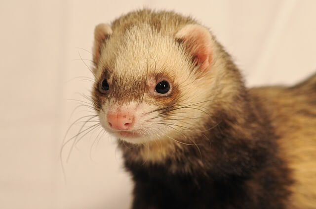 ferret names pet names on nameyourpets com