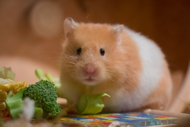 hamster names pet names on. Black Bedroom Furniture Sets. Home Design Ideas